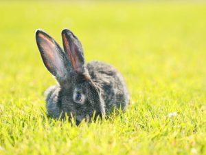 Описание кролика породы Ризен