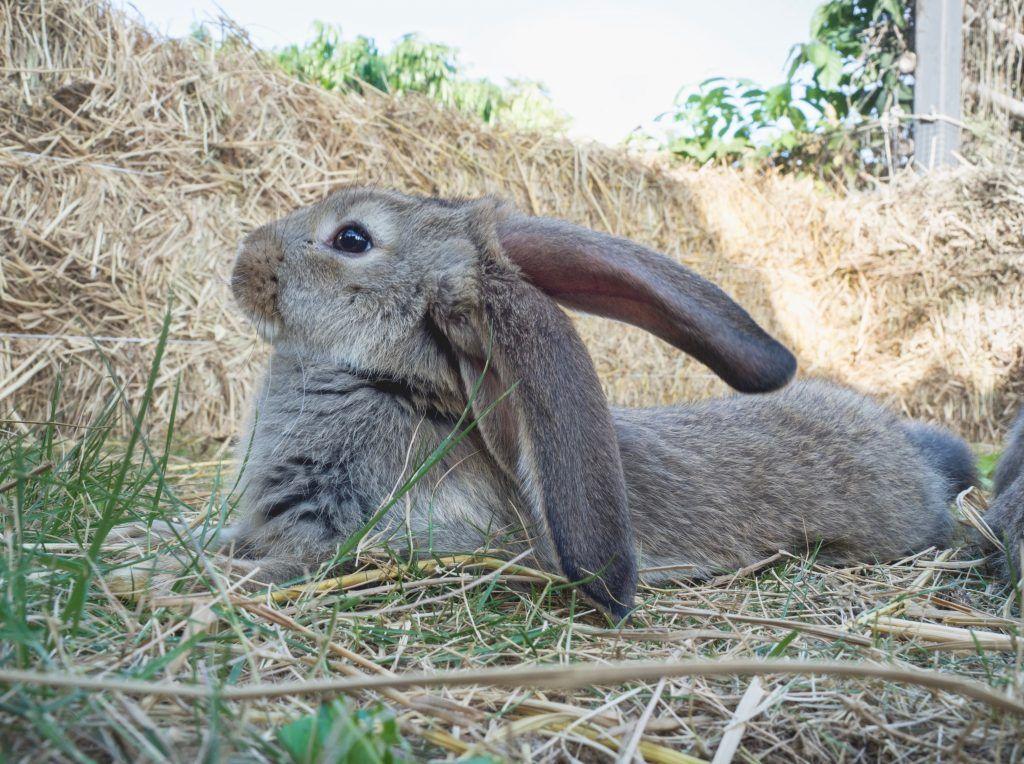 Разведение немецкого кролика