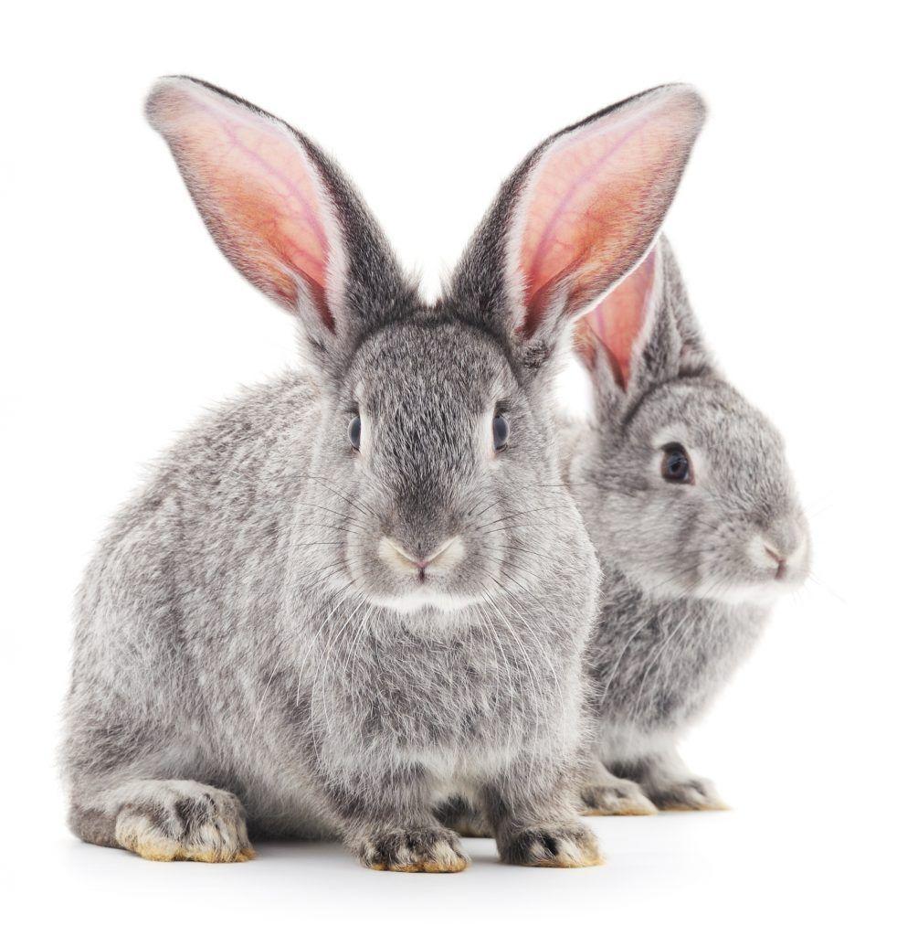Внешний вид кроликов шиншилловой породы