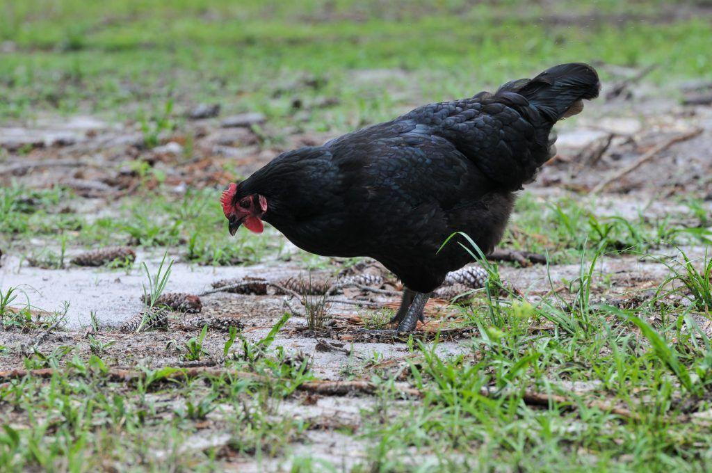 Уход за курицами породы Ля Флеш