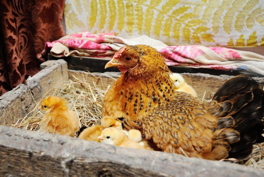 Метронидазол цыплятам как разводить в воде