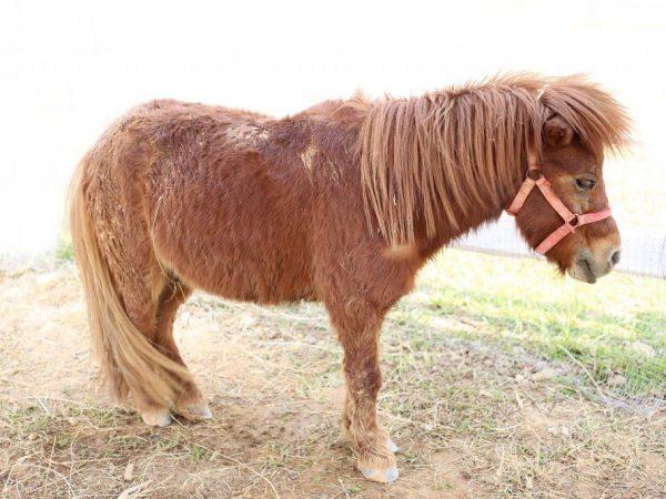 Мини-лошади