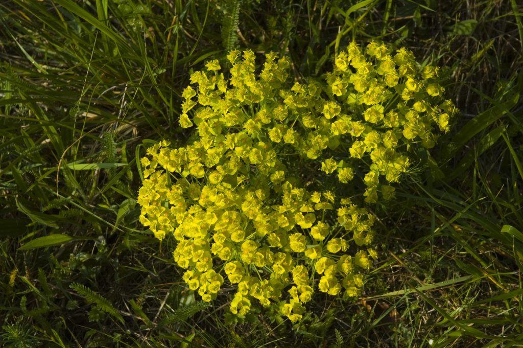 Молочай кипарисовый: посадка и уход за растением в саду, лечебные свойства и фото