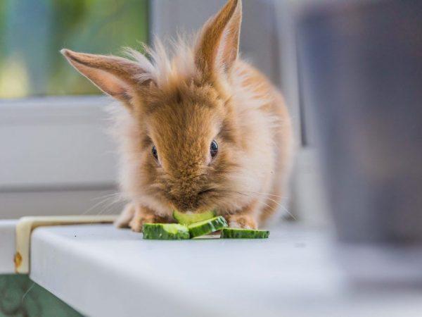 Можно ли давать кроликам огурцы