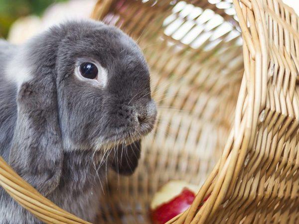 Когда можно кормить яблоками кроликов