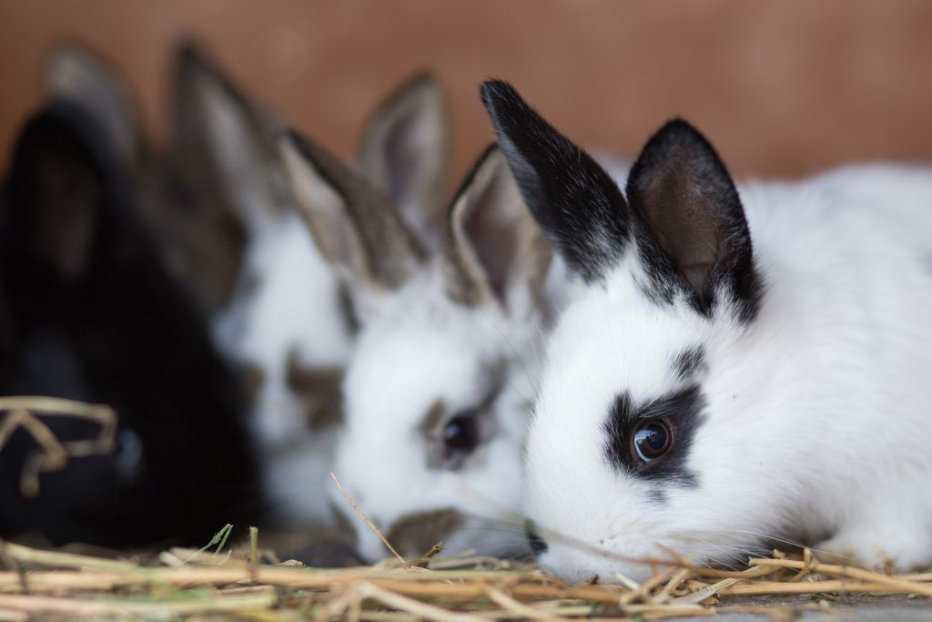 Как правильно давать кроликам сырой картофель