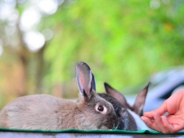 Рацион беременной крольчихи