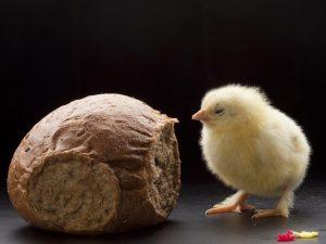 Можно ли кормить кур несушек хлебом