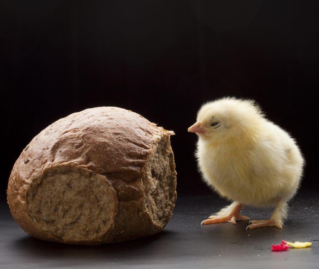 можно ли кормить кур луком