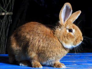 Можно ли кроликам лопухи