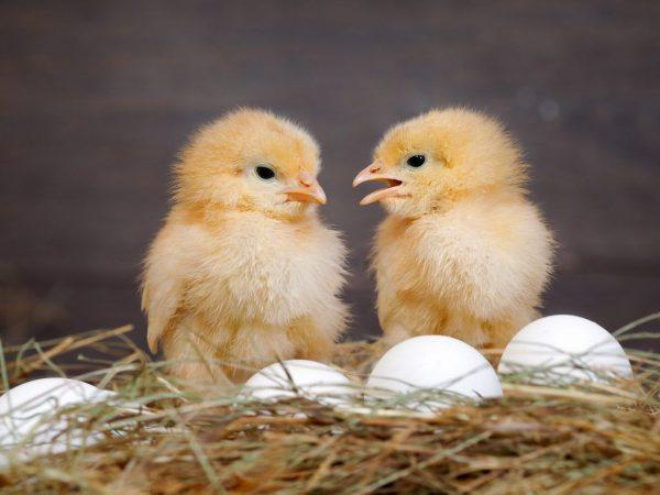 Несут ли куры-бройлеры яйца
