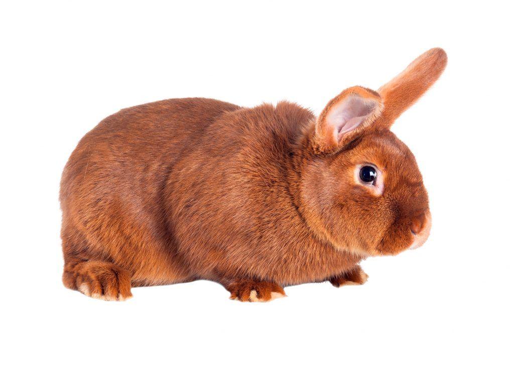 Новозеландский кролик, новозеландский белый кролик, разведение