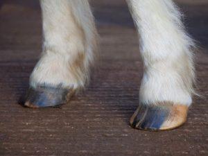 Обрезка копыт у фермерских коз