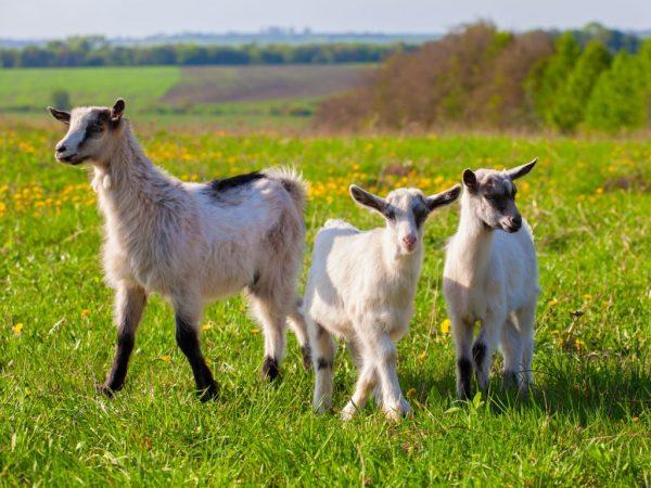 Окот козы в домашних условиях