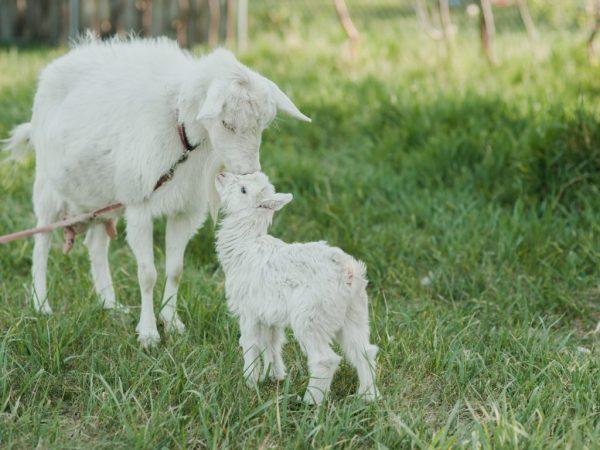 Козленку нужно молоко матери