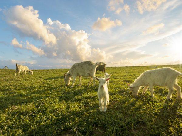Коза и козлята требуют дополнительного ухода