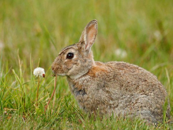 Опухли глаза у кролика