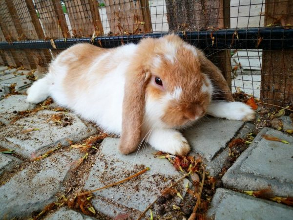 Почему у кролей отказывают лапки