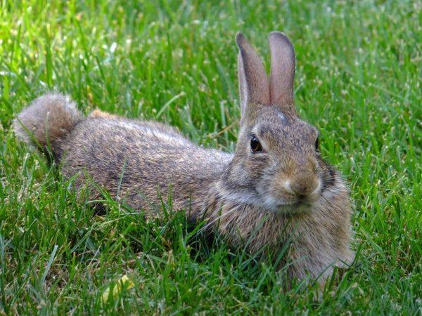 Вредная трава для кроликов