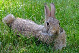 Откорм кроликов на мясо