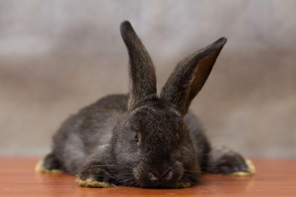 Пастереллез кроликов симптомы лечение вакцина