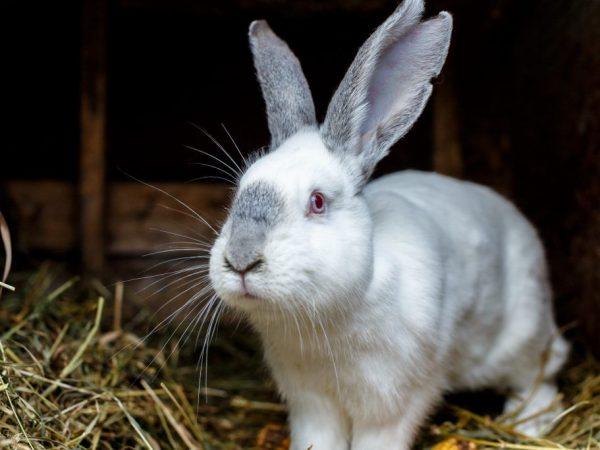 Польза и вред печени кролика