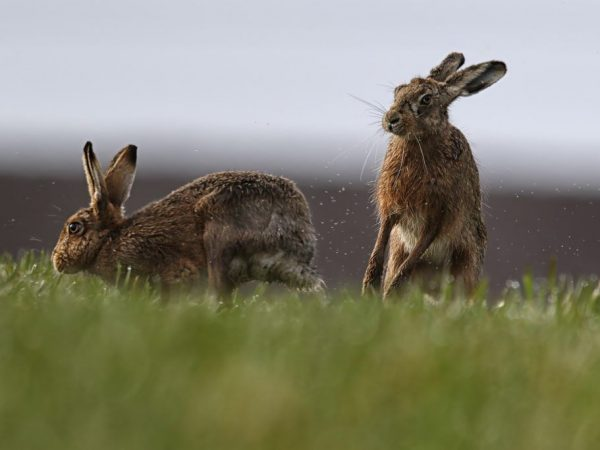 Отказ крольчихи от случки