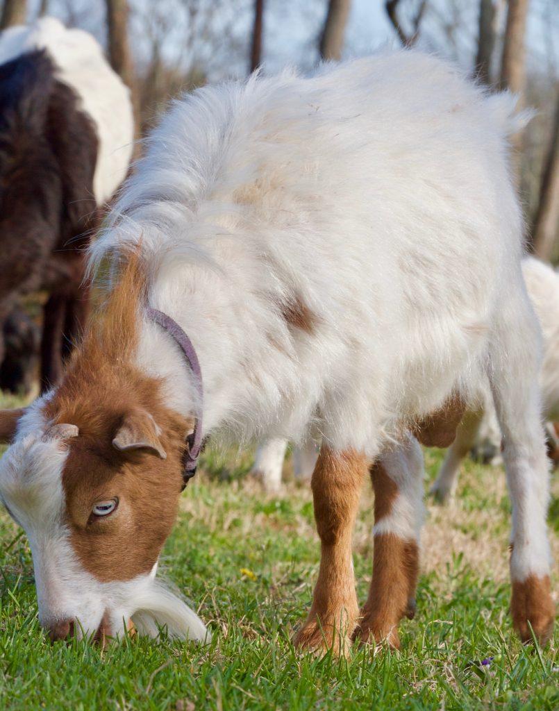 Падающие козы чего боятся козы