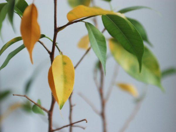 Как избавиться от пожелтения листьев фикуса