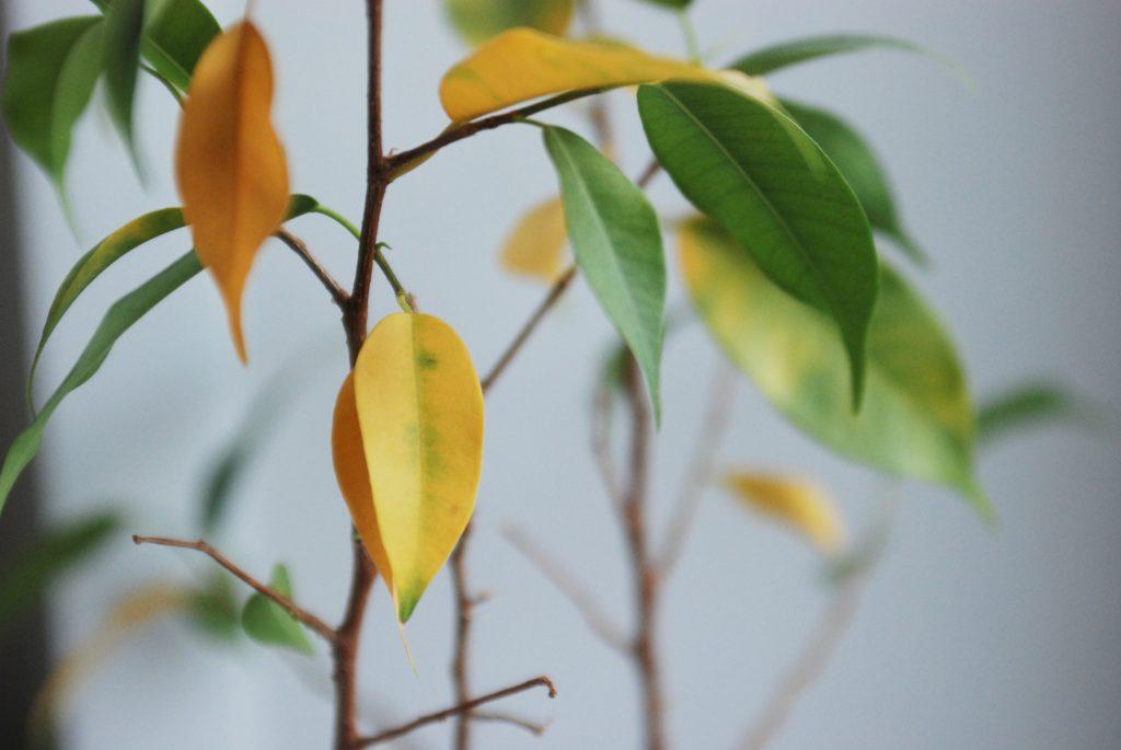 Желтеют и опадают листья фикуса Бенджамина