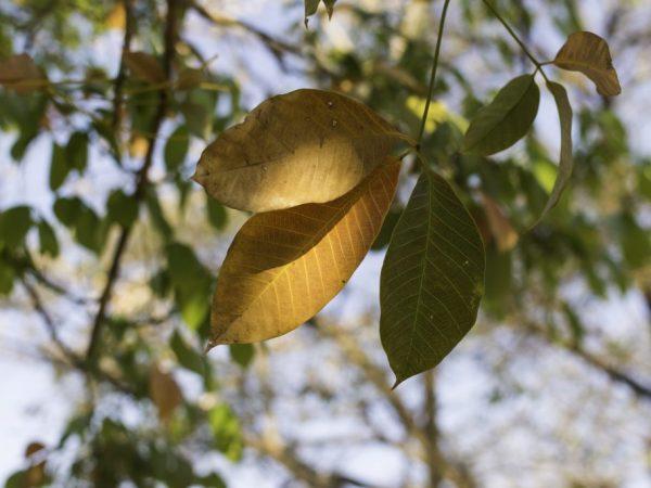 Повреждённые листья необходимо обрезать