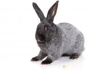 Характеристика кроликов породы Полтавское Серебро