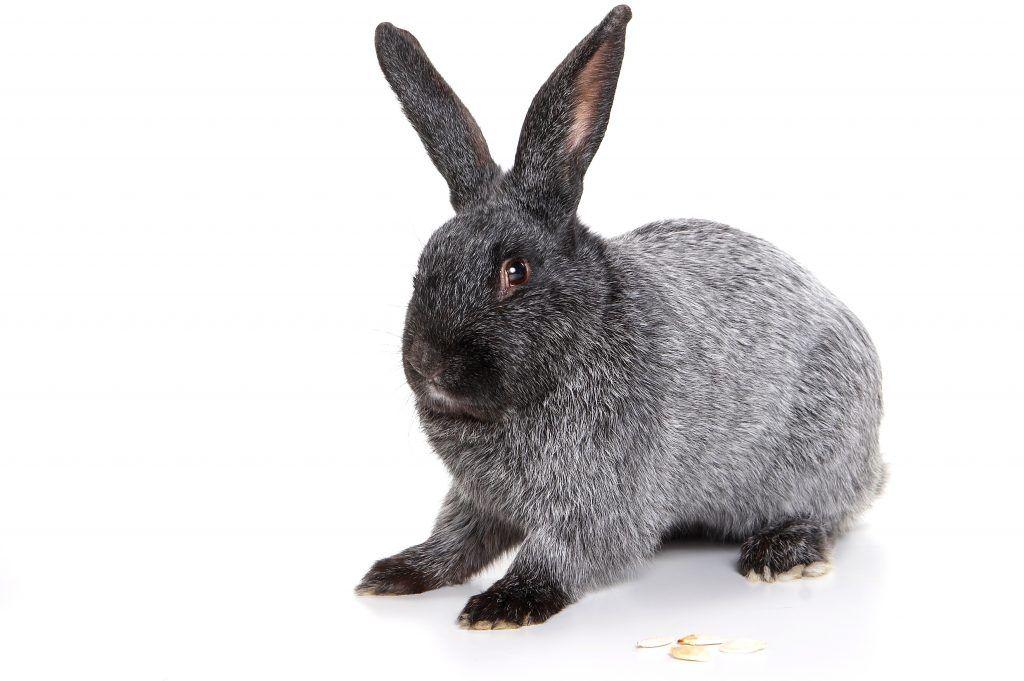 Кролики породы полтавское серебро (серебристый кролик): описание породы