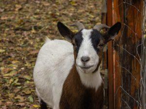 Лечение поноса у козы в домашних условиях