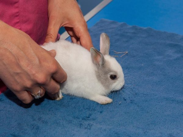 Понос у кроликов: причина и лечение недуга