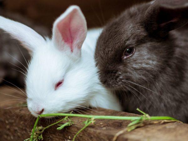 Популярные породы кроликов