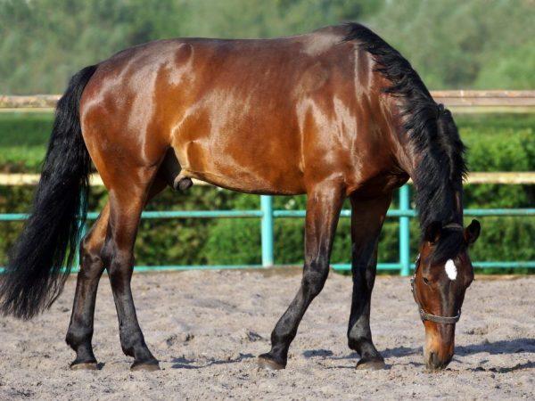Лошадь Каспийской породы