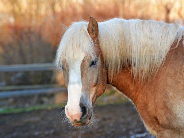 Порода лошади Хафлингер