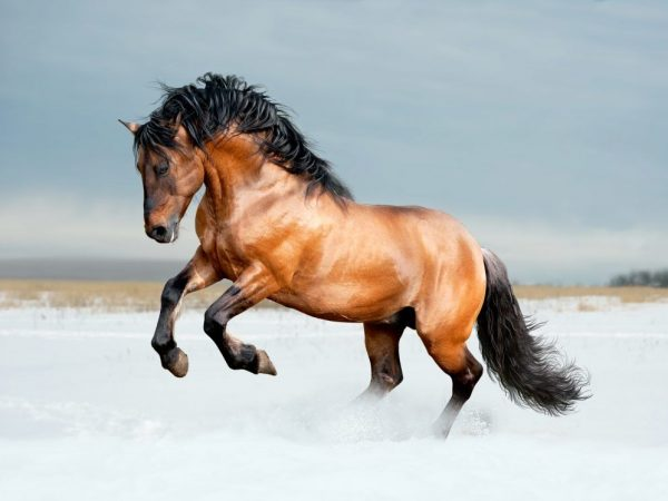 Порода лошадей Лузитано