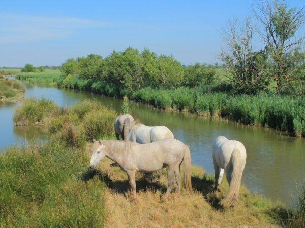 Камаргская лошадь