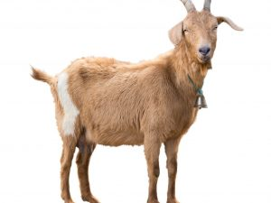 Отсутствия у козы молока после окота