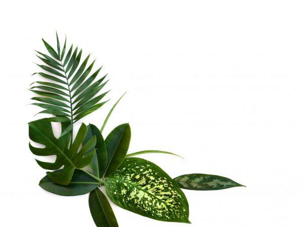 Пятна на листьях фикуса