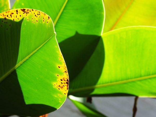 Сухой воздух плохо влияет на листья