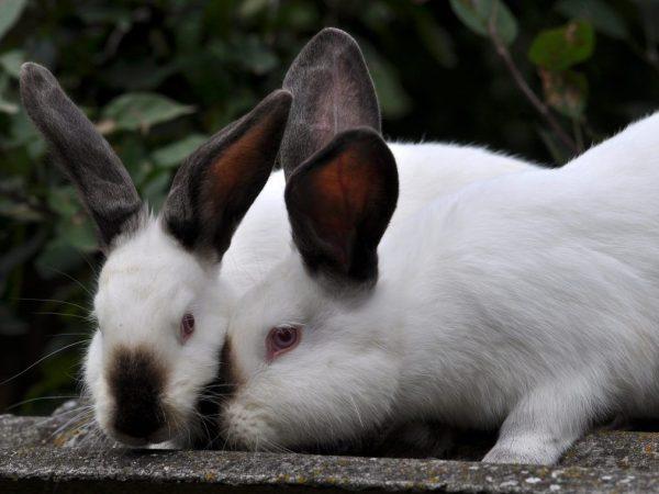 Когда можно случать крольчиху?