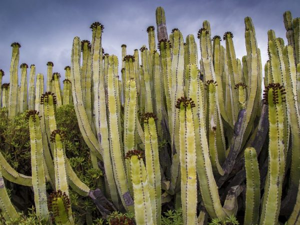 Растение достигает 12 м в высоту
