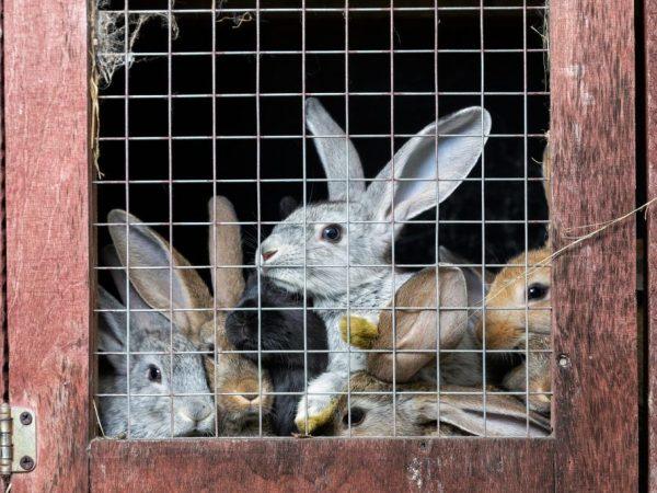 Бройлерное разведение мясных крольчат