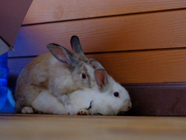 Когда нужно сводить кроликов