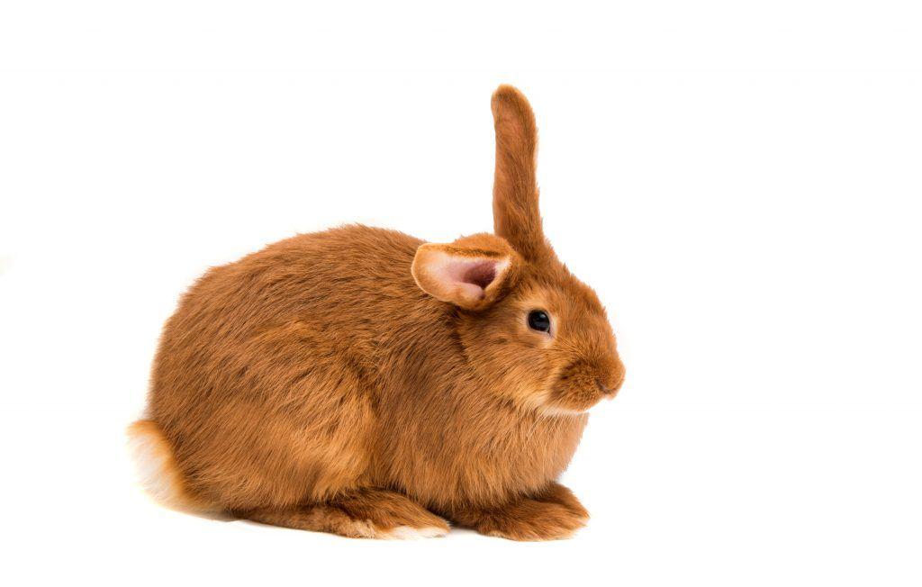 Разновидности рыжих кроликов