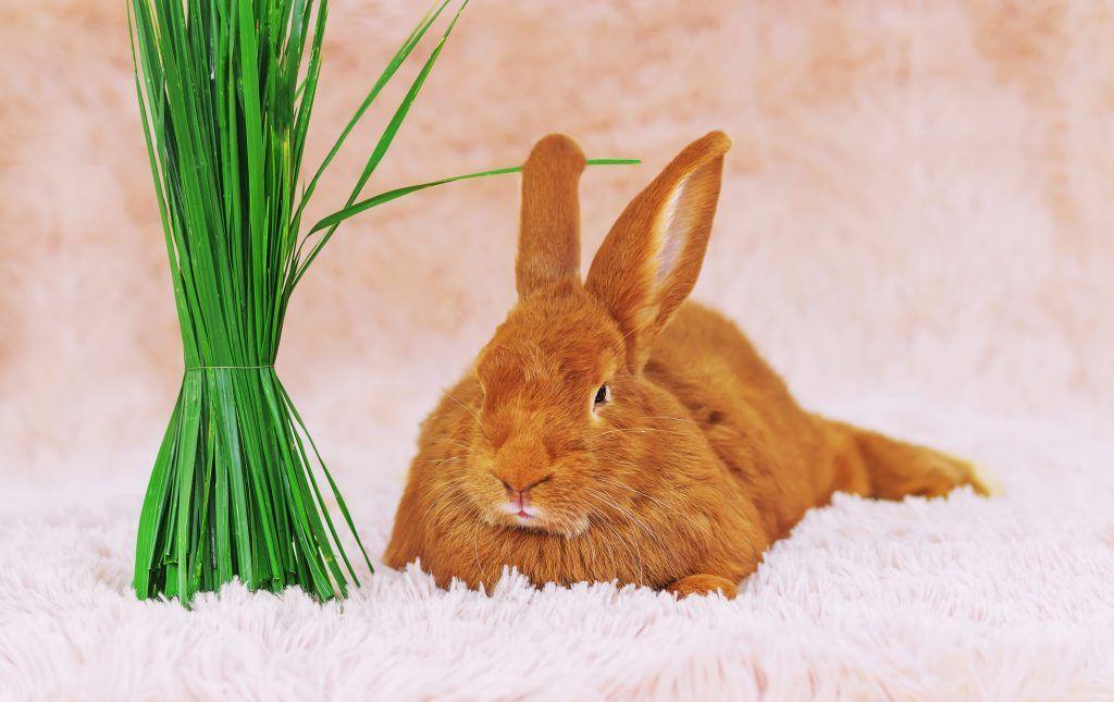 Бургундский рыжий кролик