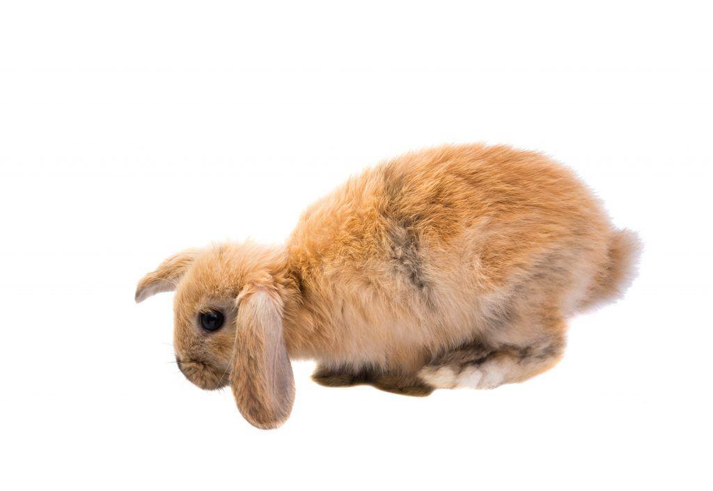 Рыжий кролик Баран